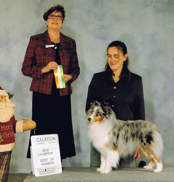 Sheltie, Brynja, finished CKC Show Champion, full sister to Veronica